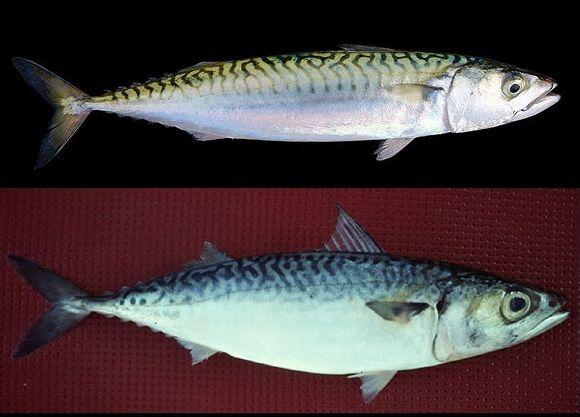 看到背脊上的点状斑纹和比较干净的腹部,应该可以确定是白腹鲭,也就是上图中的第二条鱼。又称日**本鲭,俗名青花鱼,是一种很常见的可食用鱼类,布于印度太平洋区,喜群居,水深0至300公尺。在浙江沿海地区,此鱼被称为青占鱼,也常常写做青鱼。掠食动作粗**暴,以小鱼及浮游动物为食。 至于第一条应该就是金色鲭鱼的原型Atlantic mackerel大西洋鲭鱼,鱼背上泛着淡金色的光,条纹规则少断纹。彩虹鲭鱼的色调就略微夸张了,暂时找不到原型。 因鲭鱼易腐难藏,且具有特殊腥味,故少有生食,多数情况下都是以香料或醋腌